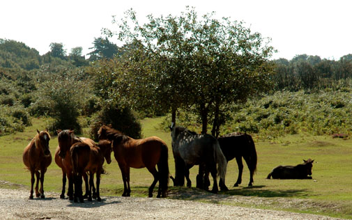 Ponies in Forest 1100