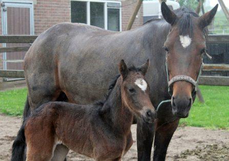 Westervelds Feline met mama 23 mei 2016 net geboren