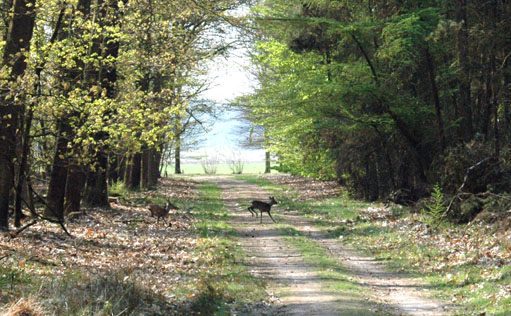 17-4-09 reeën oversteken bos