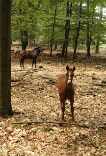 17-8-08 met veulens in bos 5