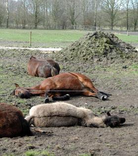 26-3-12 ponies liggen3